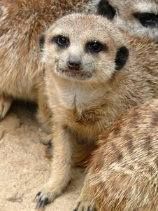 Free Meerkat - Suricata Suricatta Royalty Free Stock Photo - 5157675