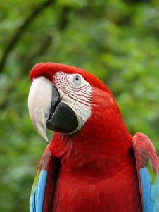 Free Green-winged Macaw Royalty Free Stock Photo - 5157685