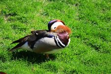 Free Mandarin Duck Royalty Free Stock Image - 5157926