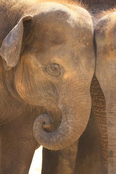 Free Elefants Stock Photos - 5158693