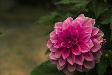 Free Chrysanthemums Blooming Royalty Free Stock Photos - 51512618