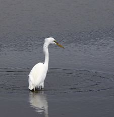 Free Great Egret Stock Images - 5160134