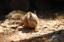 Free Chipmunk Royalty Free Stock Image - 5160166