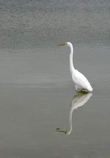 Free Great Egret Stock Photos - 5160273
