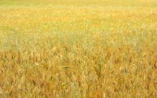 Free Texture Of Yellow Field . Stock Images - 5160284