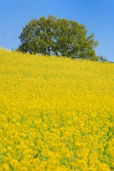 Free Rapefield Royalty Free Stock Image - 5164906