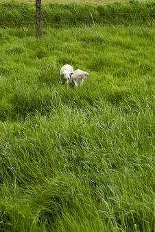 Free Two Lambs On Meadow Stock Photos - 5165063
