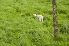 Free Single Lamb On Meadow Stock Photos - 5165233
