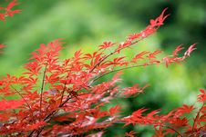 Free Red Leaves Stock Photos - 5165323