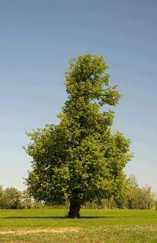 Free The Single Tree Royalty Free Stock Photography - 5166077