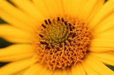 Free Golden Sunflower Stock Photo - 5166640