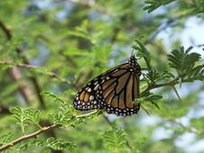 Free Monarch Butterfly Stock Photos - 5166813