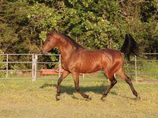Trotting Arabian Stallion Royalty Free Stock Photography