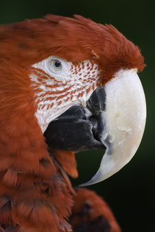 Free Scarlet Macaw Royalty Free Stock Photography - 5167097