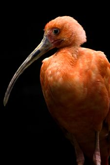 Free Scalet Ibis Royalty Free Stock Photo - 5167335