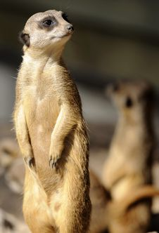 Free Slender-tailed Suricate Stock Photography - 5167402
