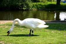 Free Grazing Swan Stock Photography - 5168062