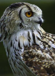 Free Rock Owl Royalty Free Stock Image - 5168726