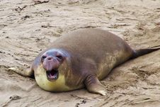 Free Elephant Seal Royalty Free Stock Photos - 5169138