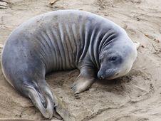 Free Elephant Seal Royalty Free Stock Photos - 5169148