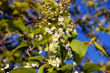 Free Flowering Cherry Tree Stock Images - 5169774