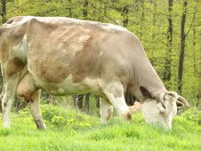 Free Cow Feeds And Graze Stock Images - 5169874