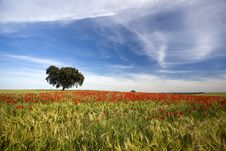 Free Poppies Field Spring Landscape Royalty Free Stock Photography - 5169887