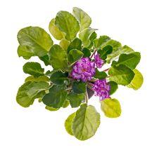 Free Violets Blssom Stock Images - 51602654