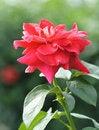 Free Rose Royalty Free Stock Photo - 5174185