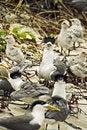 Free Terns Stock Image - 5174921