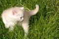 Free White Kitten In Grass Royalty Free Stock Image - 5175476