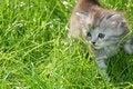 Free Striped Grey  Kitten In Grass Royalty Free Stock Photo - 5175495