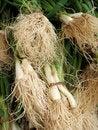 Free Organic Shallots Royalty Free Stock Images - 5179509