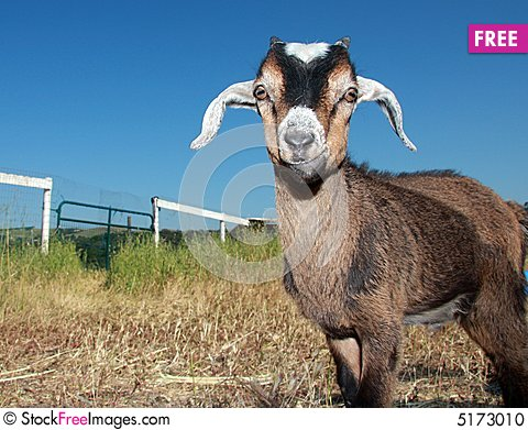Free Young Kinder Goat Stock Photo - 5173010