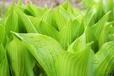 Free Hosta Royalty Free Stock Images - 5170199