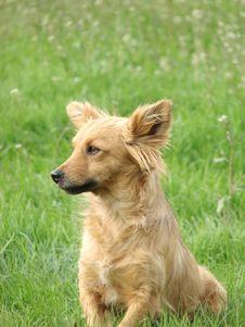 Reddish Dog Portrait Royalty Free Stock Image