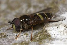 Free Hoverfly Insect Macro Closeup Royalty Free Stock Images - 5171579