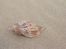 Free Sea Shell In Sand Royalty Free Stock Photos - 5171748