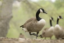 Free Canadian Goose Royalty Free Stock Images - 5172249