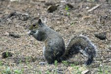 Free Gray Squirrel Royalty Free Stock Photo - 5172395