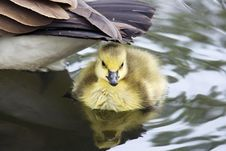 Free Baby Goose Stock Photos - 5172483