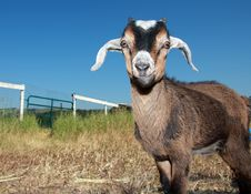 Young Kinder Goat Stock Photo