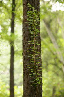 Free Metasequoia Stock Photos - 5173413