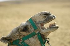 Free Camel Stock Image - 5173841