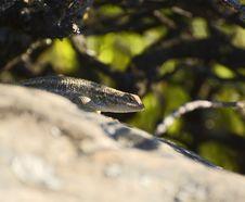 Free Lizard1 Stock Photography - 5173882