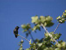 Free Hummingbird2 Stock Photos - 5174223