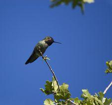 Free Hummingbird4 Royalty Free Stock Images - 5174229
