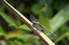 Free Dragonfly Royalty Free Stock Images - 5174699