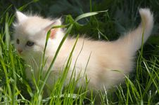 Free White Kitten In Grass Royalty Free Stock Images - 5175409
