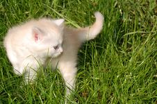 White Kitten In Grass Royalty Free Stock Image